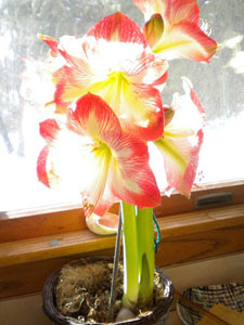 Amaryllis at Jacqueline's house