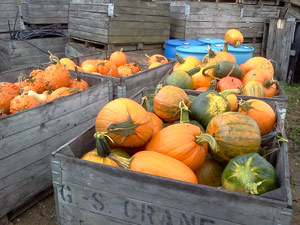 Lots of pumpkins from a local patch